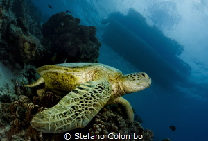 A sea turtle resting on a coral apparently waiting for pe... by Stefano Colombo